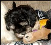 Havanese enjoying his toy.